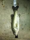 Bass_0142
